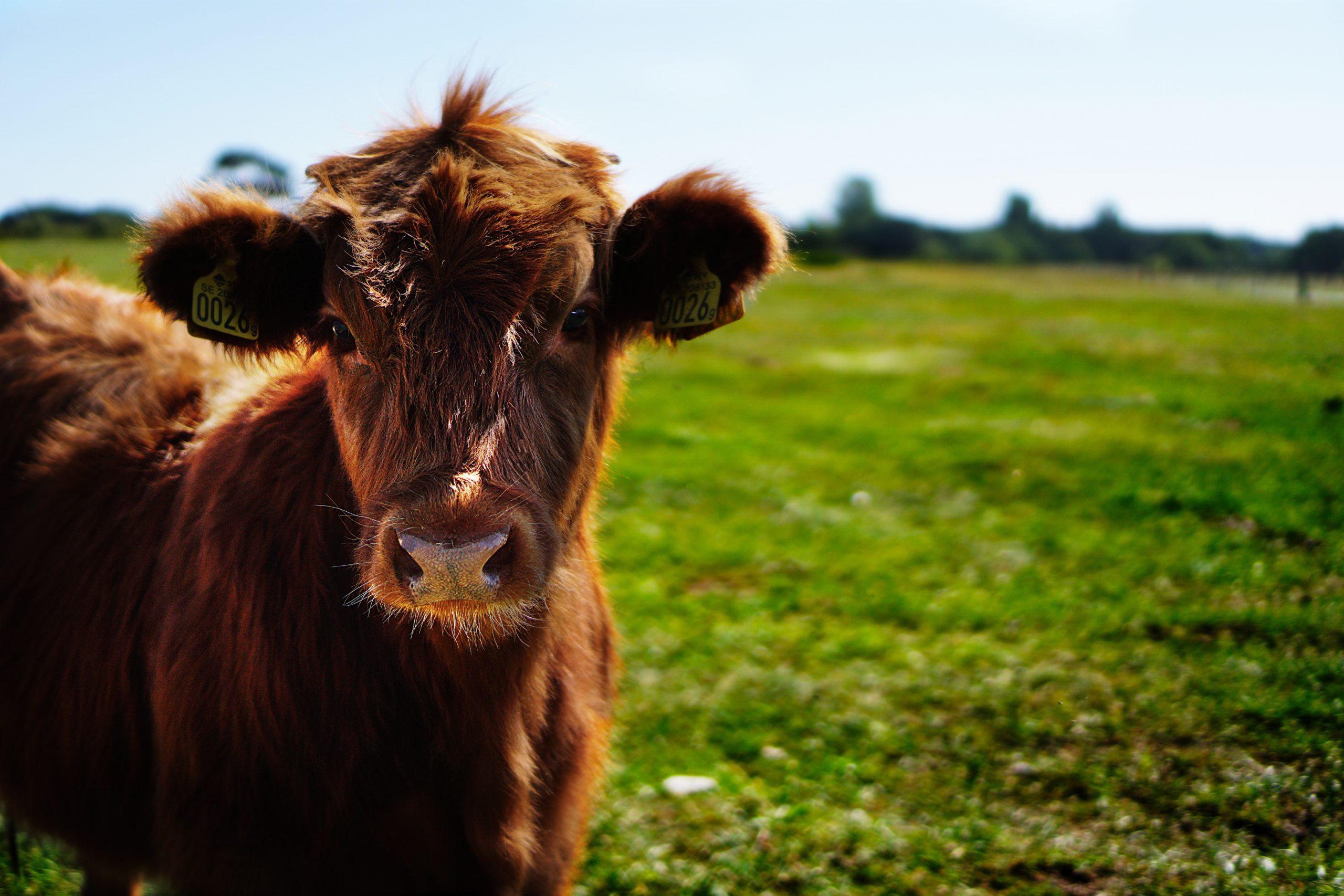 Perché i vegani non consumano latte e latticini?